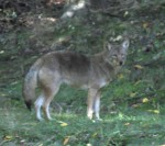 This Coyote in the backyard of a home on Mountain Peak Road home was recently spotted by and photographed by Chappaqua resident Karen Lo.
