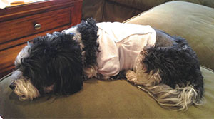 Ann Brochstein's Samson, shown recuperating from surgery and a multi-day hospital stay.