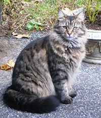 Main coon cat Lola always stayed on her property and came when called.