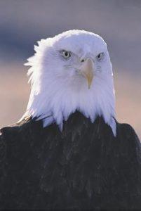 EagleFest birds 3
