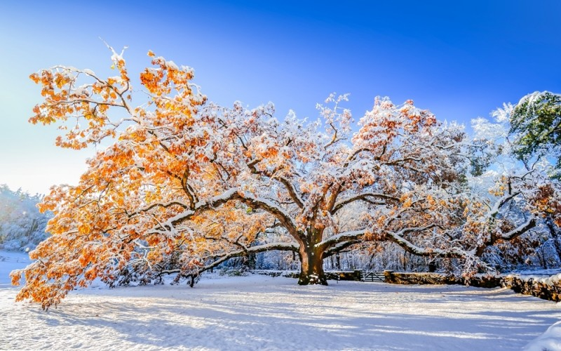 """The Bedford Oak, October 30th, 2011"" by Sylvain Cote Photography, taken in Bedford, NY. This picture was taken after the famous ""2011 Halloween Nor'Easter."""